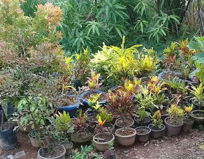 memulai usaha tanaman buah dalam pot cepat berbuah