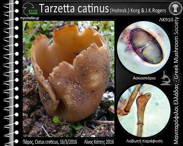 Tarzetta catinus (Hοlmsk.) Kοrg & J.K.Rοgers