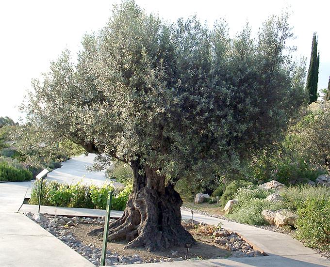 Hortus italicus olea europaea ssp sativa l 1753 - Siepe di ulivo ...