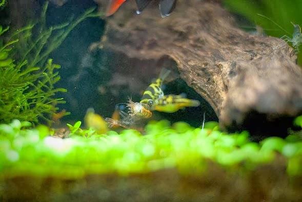 Pufferfish Tankmates: