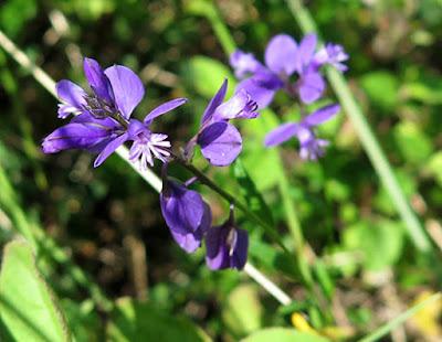 Flores azules de Poligala (Polygala vulgaris)