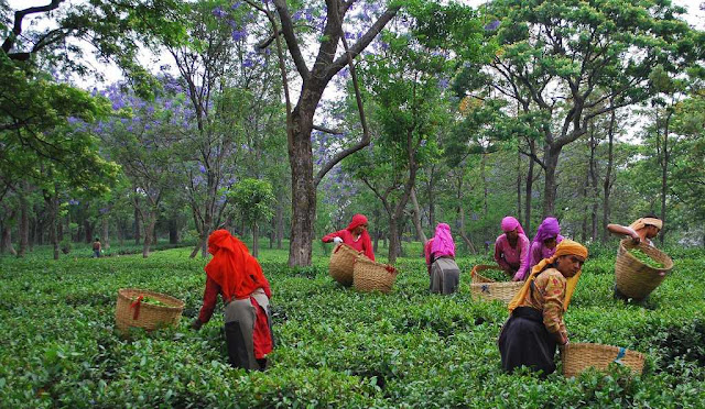 Bir billing Tea Factory