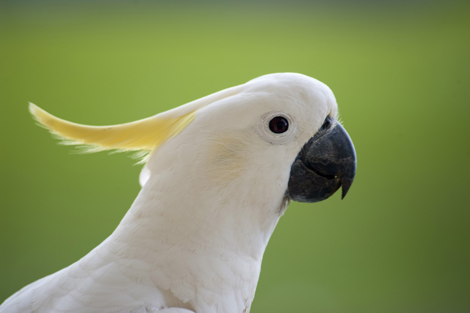 Cockatoo Photos 17