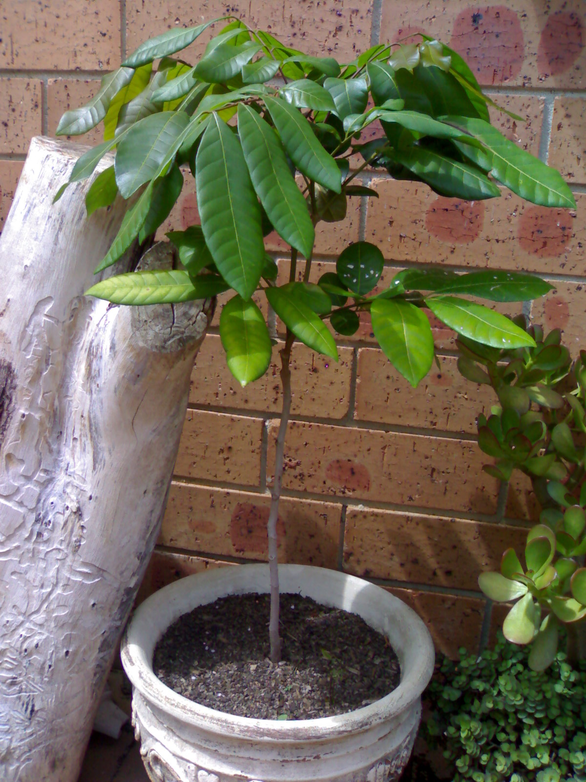 How To Grow Longan Tree Growing Kohala In Container