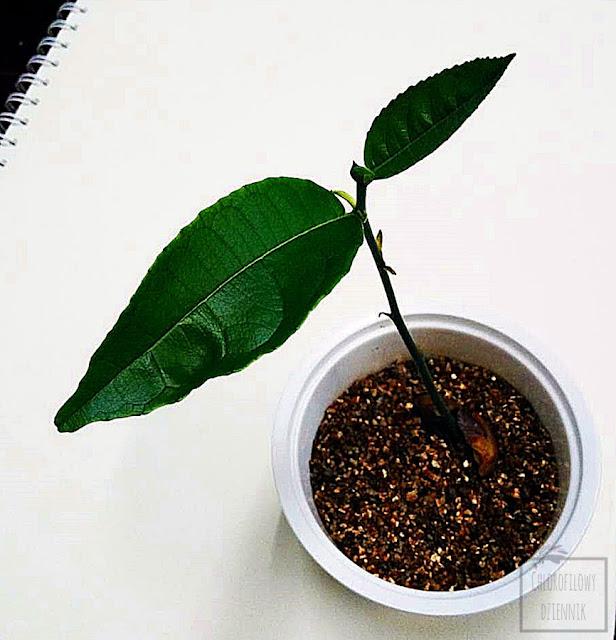 Chlebowiec różnolistny, drzewo bochenkowe, jackfruit, dżakfrut z nasion, siew z pestki. Jak wysiać jackfruita z nasiona, siew krok po kroku. Kiełkowanie chlebowca. Owoc, opis, wygląd, siewka dżakfruta. Ciekawe owoce Azji, Chiny.