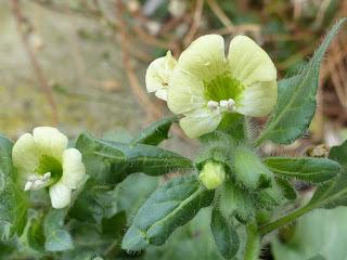 Jusquiame blanche - Hyoscyamus albus