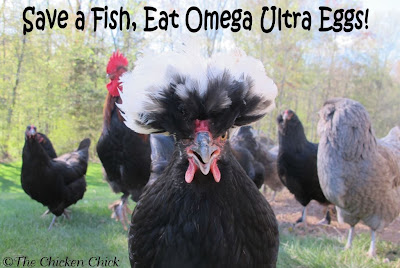 I incorporate Omega supplements into treats recipes for my chickens whenever possible such as in  my Flock Block Substitute, and Peeps' Pumpkin Pie.