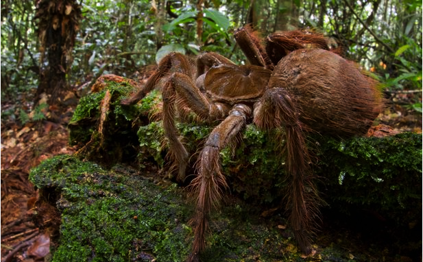 largest spider in the world - photo #23