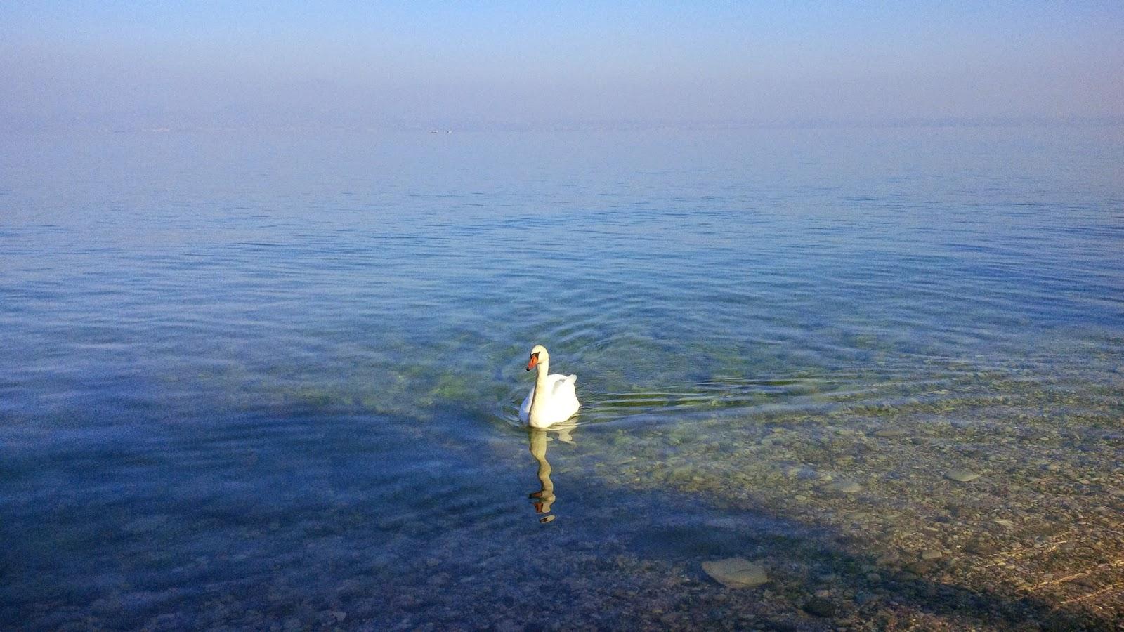 White swan on Lake Garda