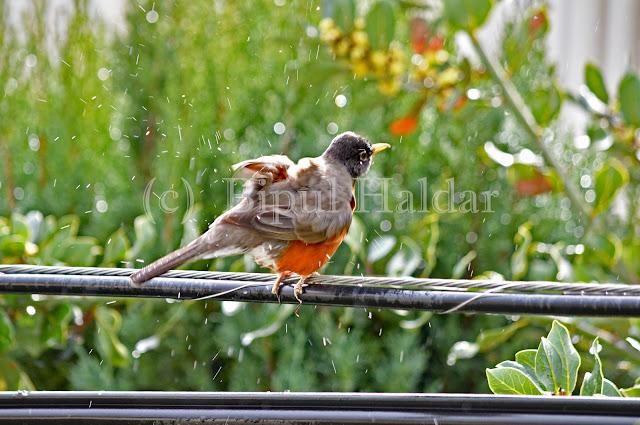 American Robin Soaking in Rain