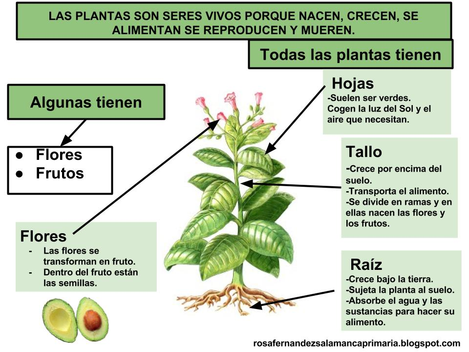 Maestra de primaria las plantas partes de las plantas for Arboles de hoja perenne en galicia