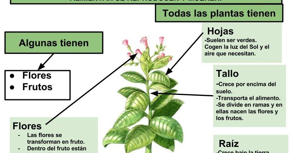 Maestra de primaria las plantas partes de las plantas for Plantas hoja perenne