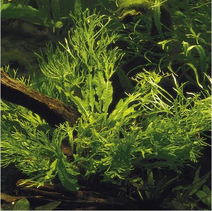 cây dương xỉ sừng hươu có dáng đẹp, dễ trồng