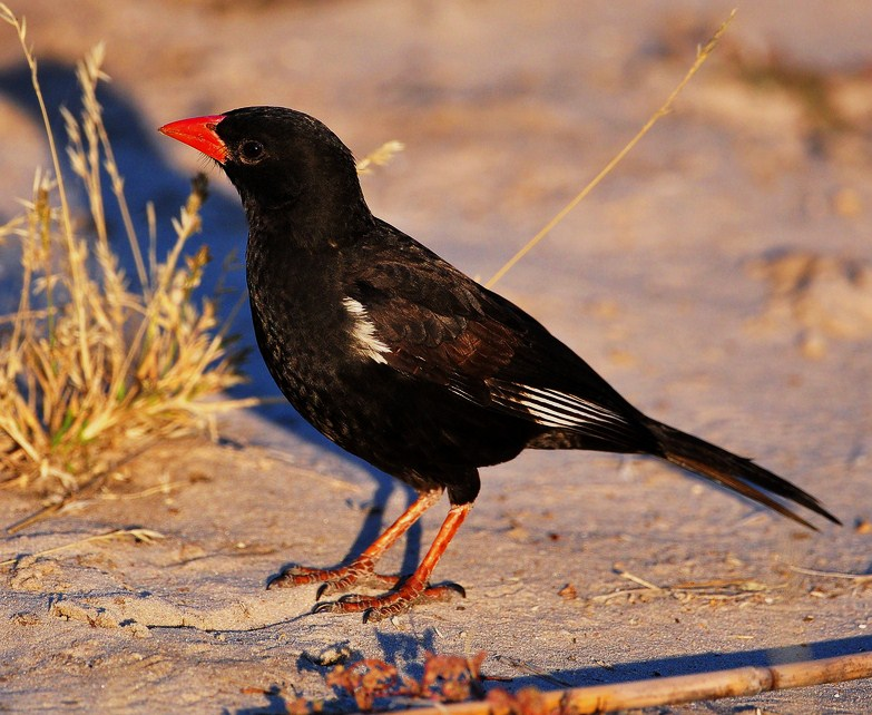 Birds of the World: Red-billed...