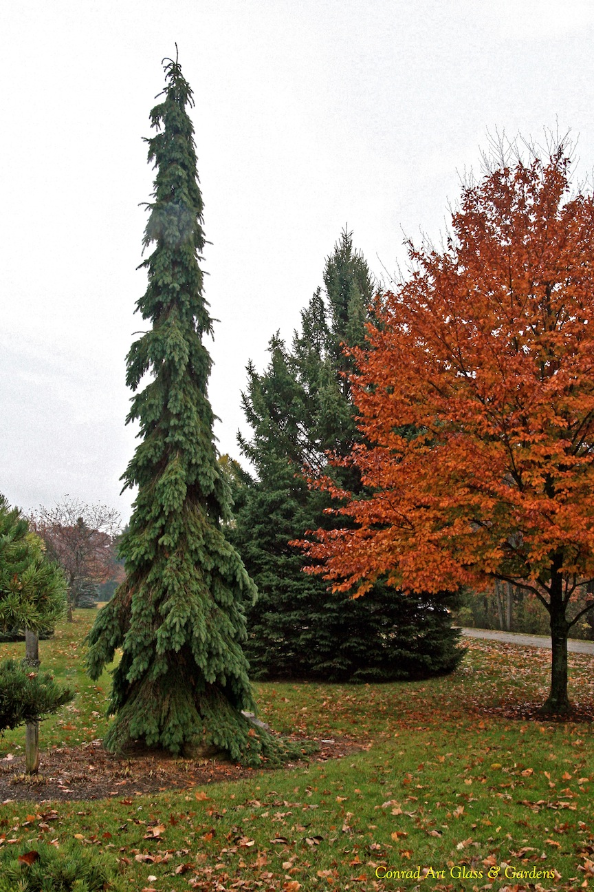 first conifers - photo #46