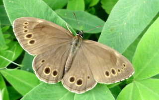 https://fr.wikipedia.org/wiki/Bacchante_(papillon)