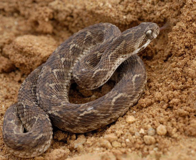 Africa Snakes Bite Danger Non Cobra Planetanimalzone