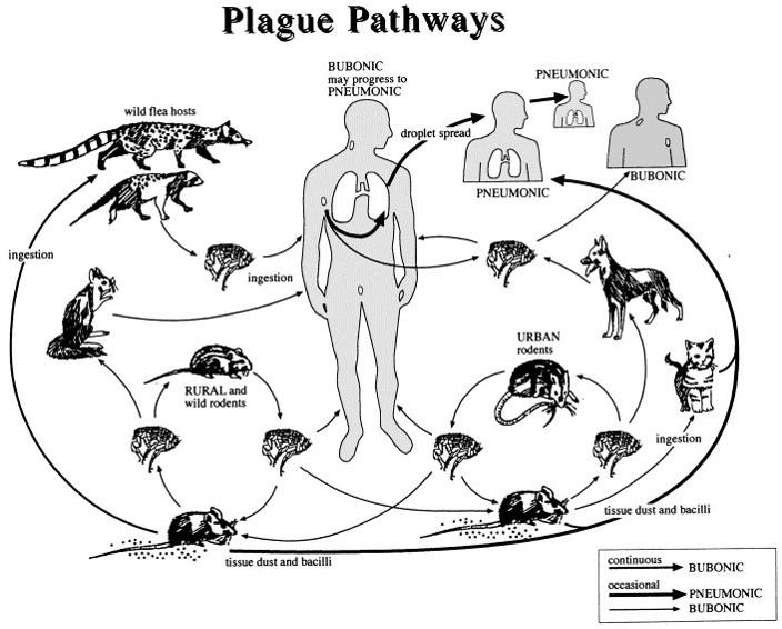 Yersinia Pestis - the Bubonic Plague Epidemic