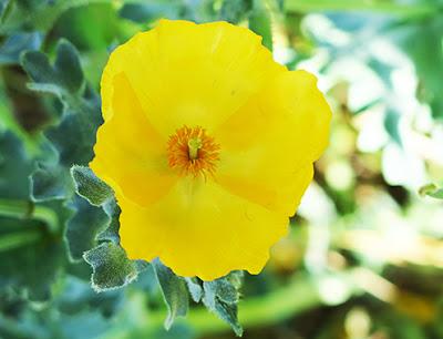 Flores amarillas de la amapola marina (Glaucium flavum)