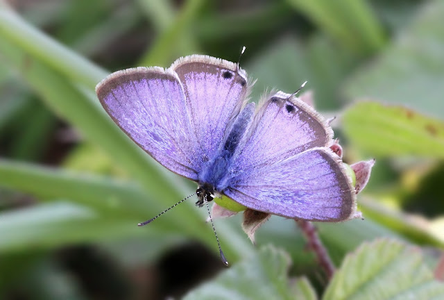 Long-tailed Blue - Kent