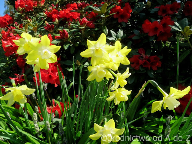 Narcissus 'Pipit'