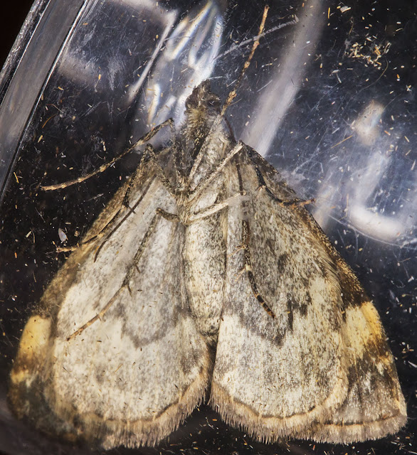 Dark Marbled Carpet, Dysstroma citrata.  Hayes, Kent, 4 September 2014.