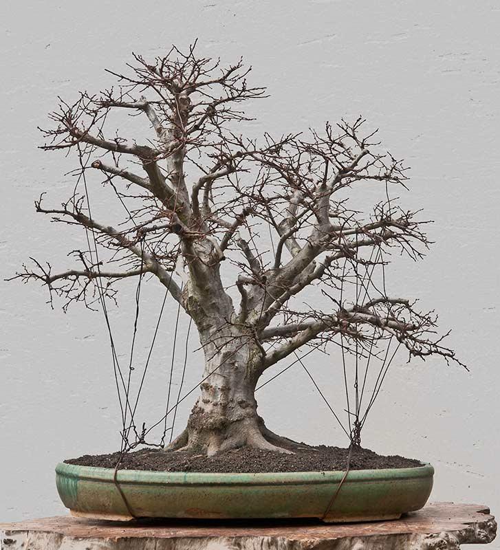 bonsai neuling braucht hilfe pflegen schneiden veredeln green24 hilfe pflege bilder. Black Bedroom Furniture Sets. Home Design Ideas