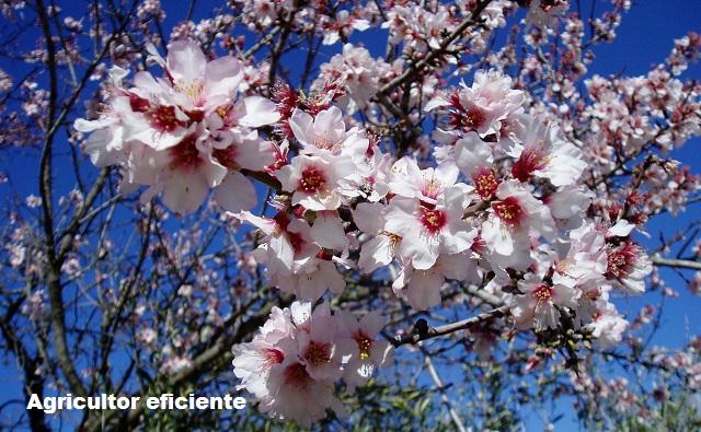 CULTIVO DEL ALMENDRO Prunus dulcis