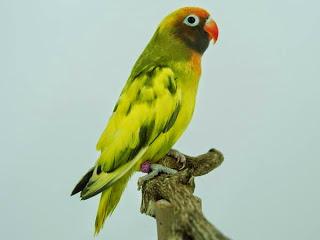 Download 78+ Foto Gambar Burung Lovebird Tercantik HD Paling Keren Gratis