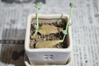 徒長した多肉植物の新芽