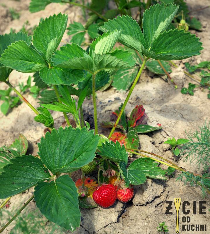 czerwiec, sezonowa kuchnia, przepisy sezonowe czerwiec, truskawki, szparagi,bob, wiosenne przepisy, zycie od kuchni, hulali po polu i pili kakao
