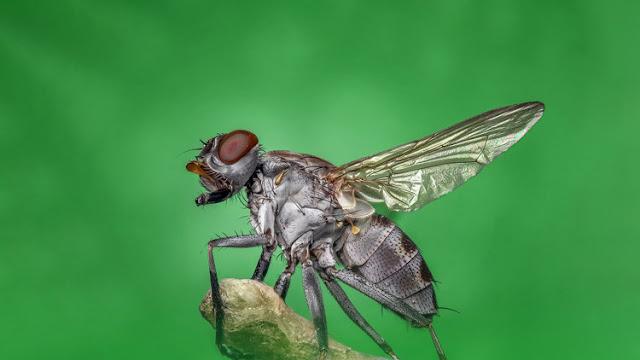 Las moscas propagan el gen responsable de la resistencia a antibióticos