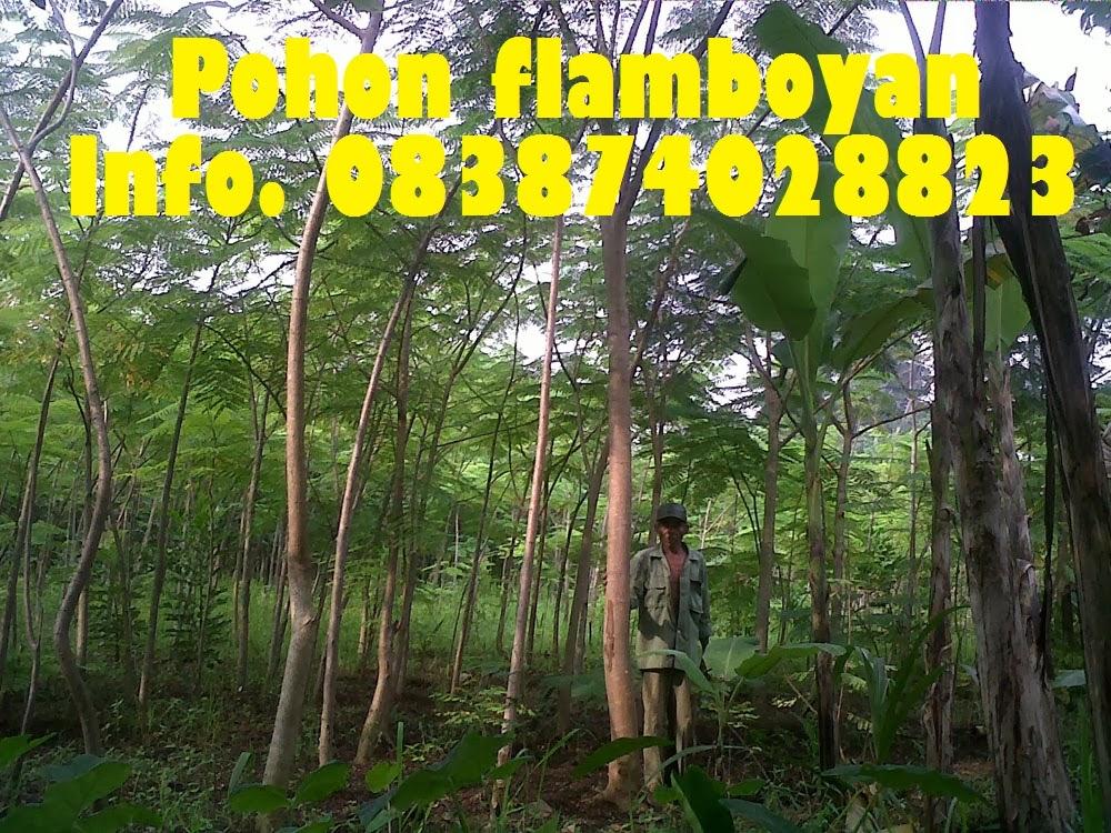 Pohon-flamboyan
