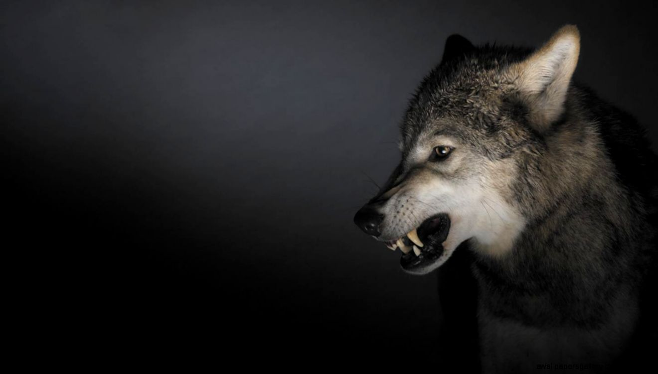 Angry Wolf Tumblr | Wallpapers Gallery
