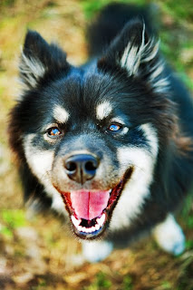 The Dog Breed Blog: Finnish Lapphunds