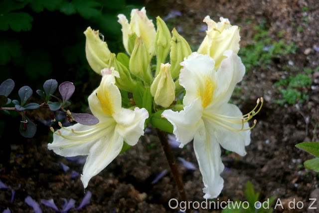 Rhododendron 'Oxydol'