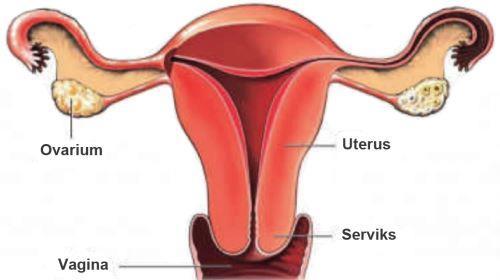 Organ reproduksi wanita