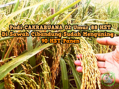 Tanaman Padi Cakrabuana 02 Umur 88 HST Di Sawah Cibandung Sudah Menguning. Umur 90 HST Panen