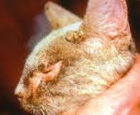 Cara Menyembuhkan Kudis dan gudik pada Kucing dan kelinci