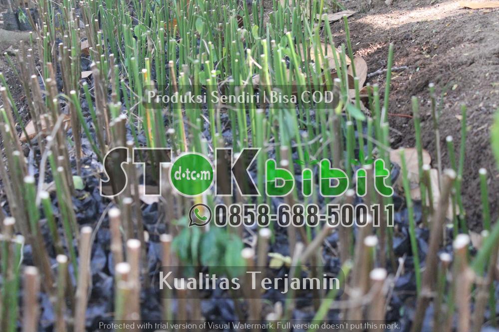 Saputan Batang pada tanaman jeruk      Berkwalitas       Unggul