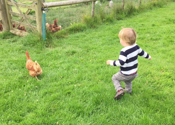 Chasing chickens at Thornhill farm shop