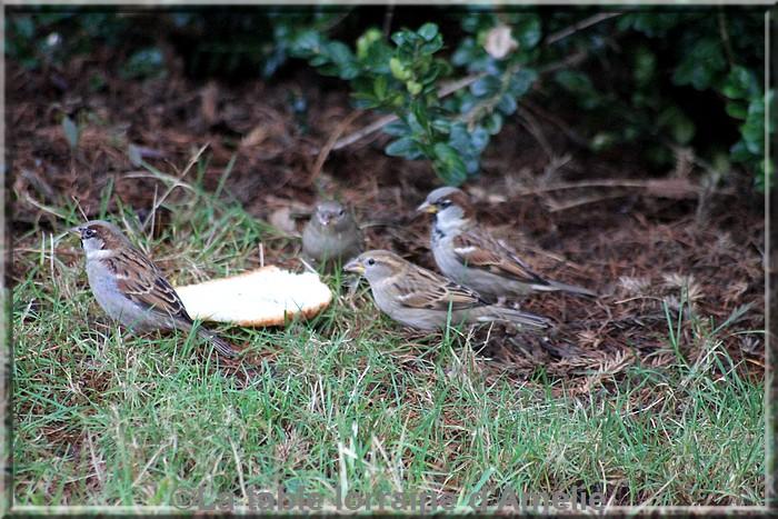 Aux jardins d 39 am lie les oiseaux du jardin suite for Jardin 4 moineaux