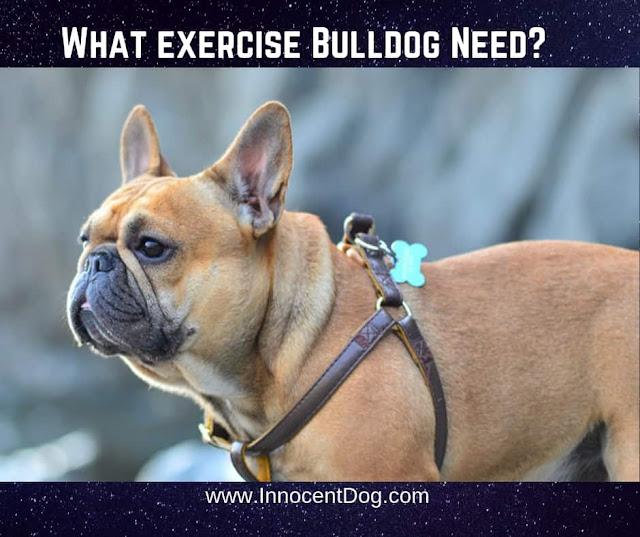 Bulldog Breed Information,Bulldog