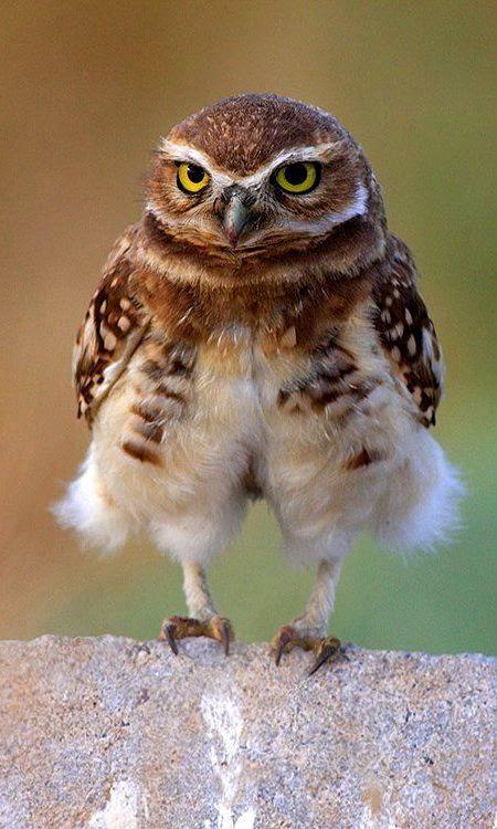 Stunning Kingdom: 5 Awesome Austrailian Barn Owl Photography