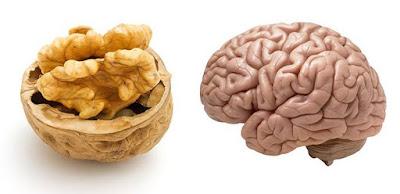Noix de Grenoble et cerveau