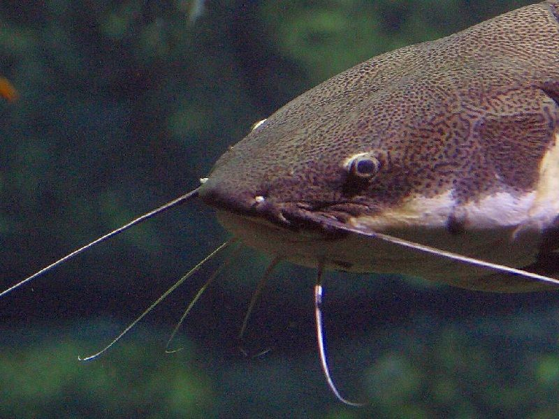 Cara Memelihara Ikan Lele Tembok