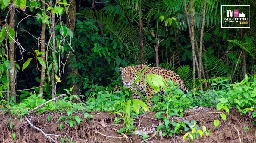 Giaguaro sul fiume Manu