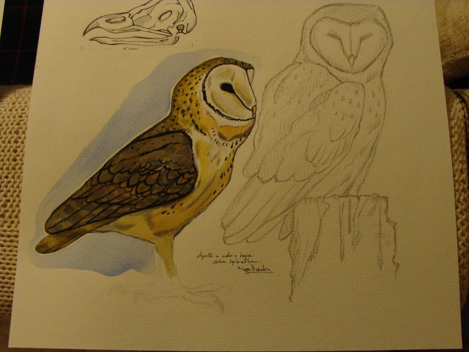 Nor Martin Ilustracion: Lechuzas Comunes (Tyto Alba