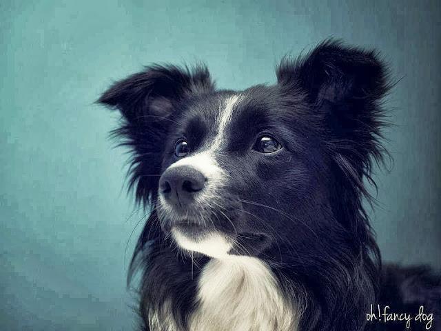 oh fancy dog dimah todos los derechos reservados