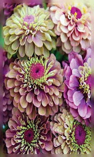 Flores lilas y moradas fondos wallpaper para teléfono móvil resolución 480x800
